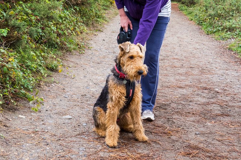Archie, a 10 months old Airdale Terrier