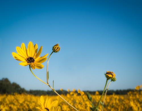 usa flower water florida panasonic centralflorida helianthusangustifolius swampmarsh swampsunflower lakejesup gx7 narrowleafsunflowers dmcgx7
