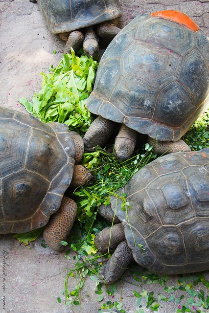 Tartarughe di terra a Moyenne (Tortois at Moyenne Island) Seychelles