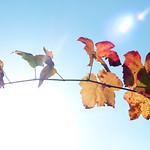 Mooi herfstblad van de druivenplant