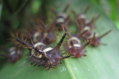 Caterpillars by Flickr User: derbybees