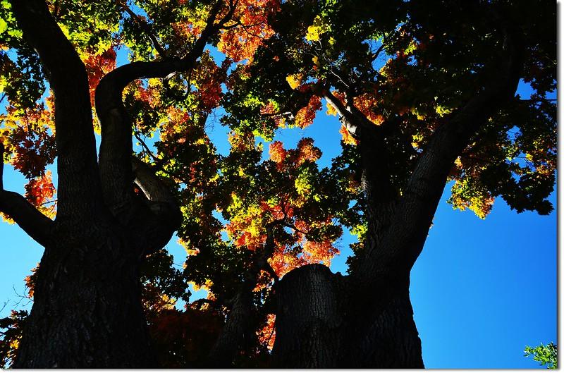 Sugar maple in Fall, Chautauqua, Boulder 2