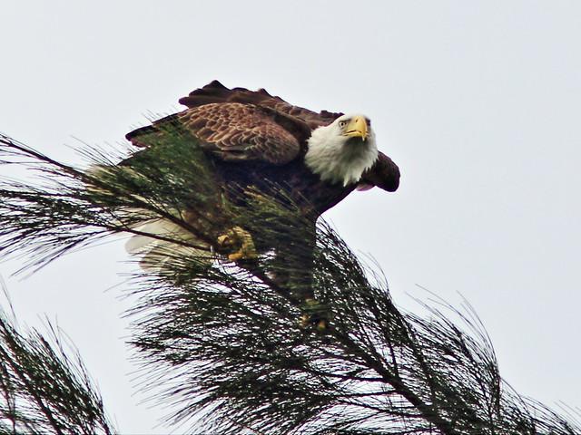 Bald Eagle landing 3-20131127