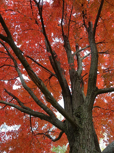 Wheaton, IL, Red Maple Fall Foliage