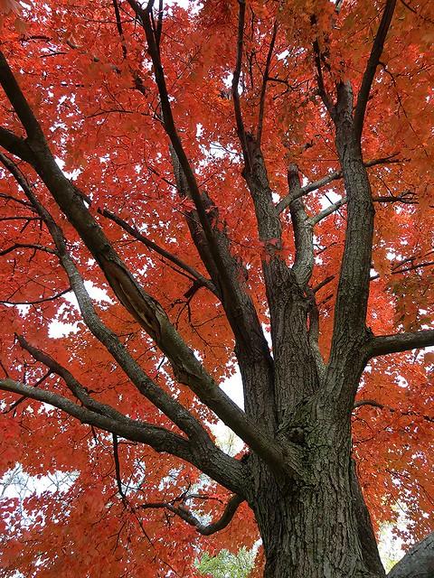 Wheaton, IL, Red Maple Fall Foliage