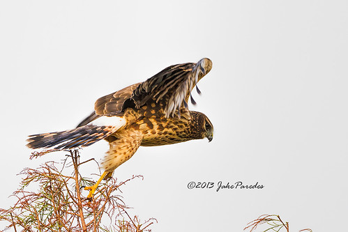 Female Northern Harrier launch