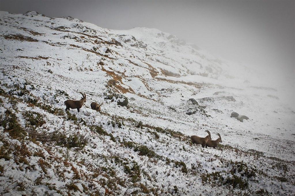 Alpine ibex. Réserve naturelle de Passy. Haute-Savoie. France.