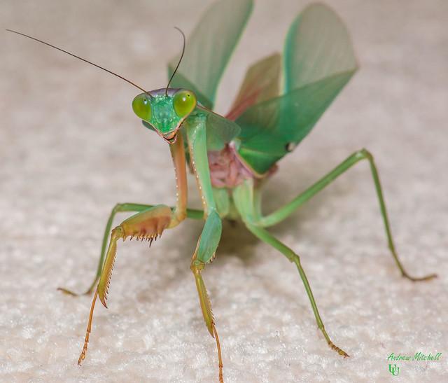 Rhombodera basalis (Giant Malaysian Shield Mantis) (Adult)