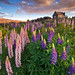 Field of Lupins by Anna May Manrique Photography