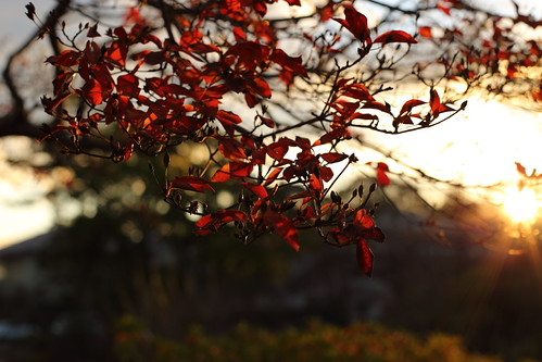 Red leaves got redder by the  sunset