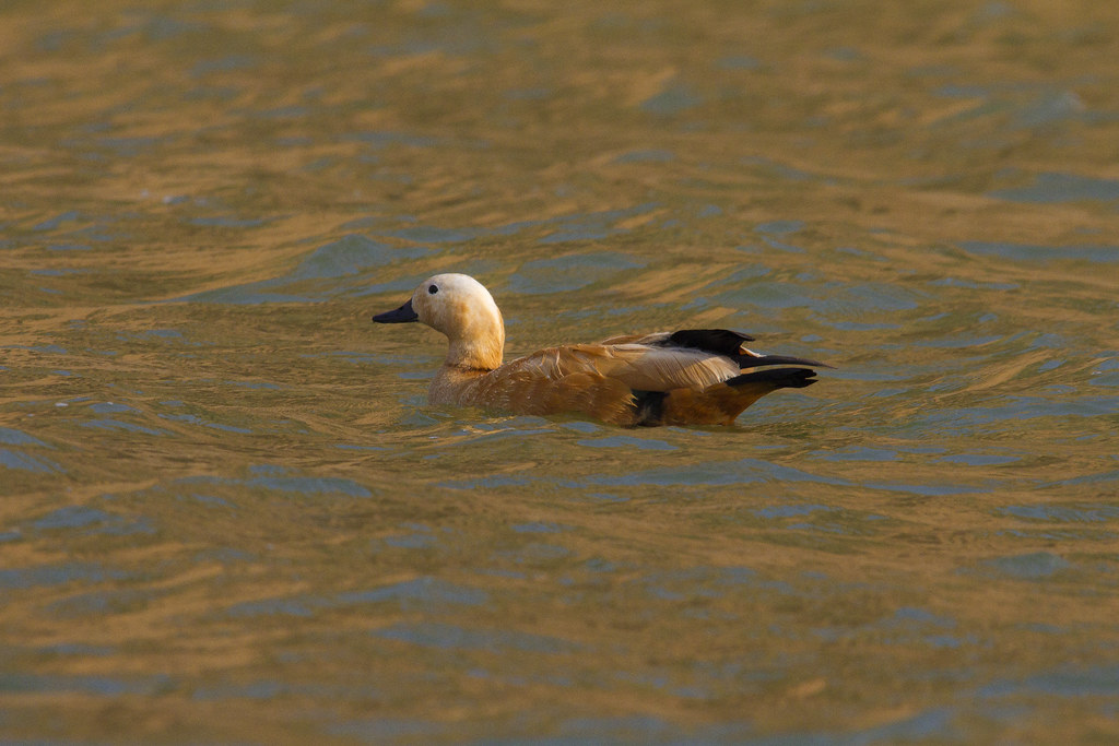11_01_20140629053617_ruddy_shelduck_golden_water