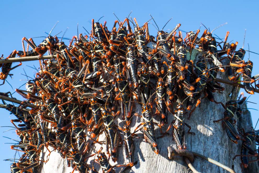 Saltamontes negros son vistos en los empalizados y los postes que limitan los terrenos en el Chaco, estos curiosos saltamontes se agrupan para protegerse de los depredadores, también poseen toxinas. (Tetu Espósito)