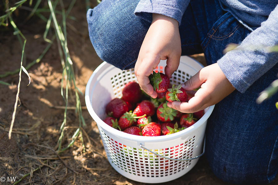strawberry patch_