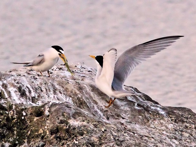 Least Tern female accepts fish from bonded male 15- 20140428