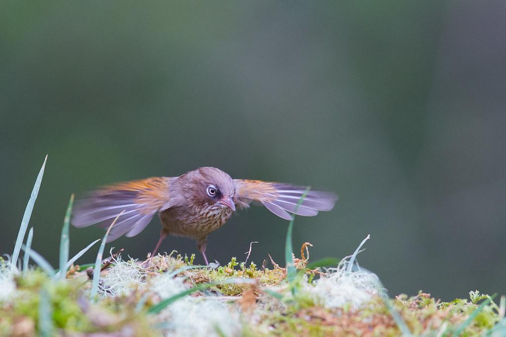 褐頭花翼-1387