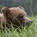 Grizzly Bear by Turk Images