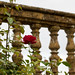 October rose, Montacute by Stoutcob