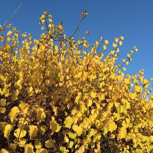 Autunno  #autunno #autumn #fotografia #photography #albeo #fogliesecche #fogliegialle #ambiente #natura #fotoautunnali