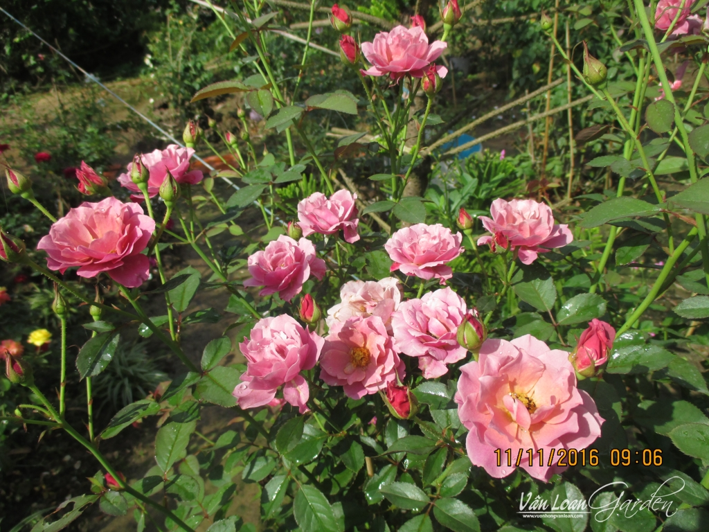 Hoa hồng Nhật Bản Aoi rose