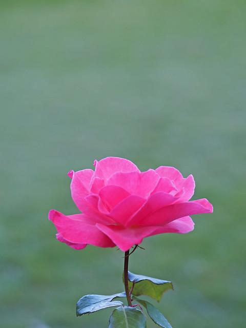 Photo:Rose, Sheer Elegance, バラ, シア エレガンス, By T.Kiya