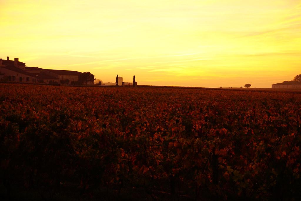 Grape vines at sunset St. Emilion