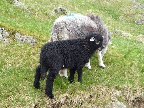 Herdwick ewe and lamb