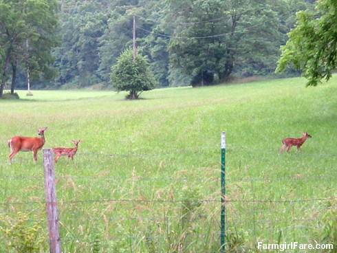 (32-10) One of our resident does and her twin fawns in the hayfield - FarmgirlFare.com
