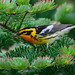 Blackburnian Warbler by Jim McCree