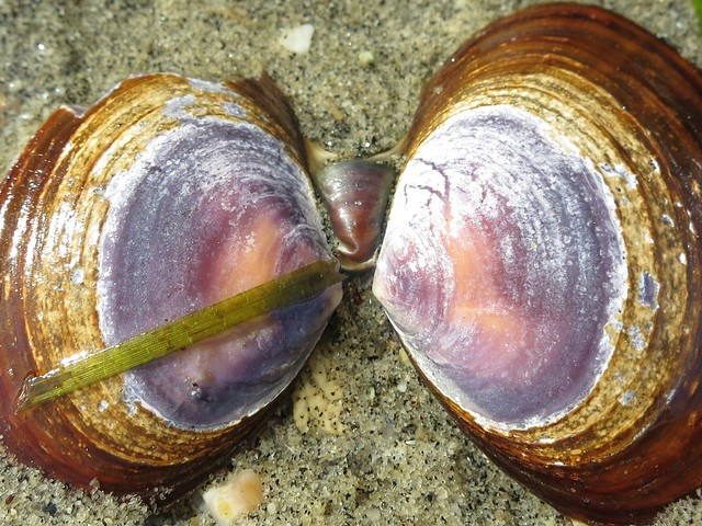 Clam shell colours