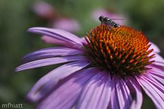 Honey Bee   191/365 2013