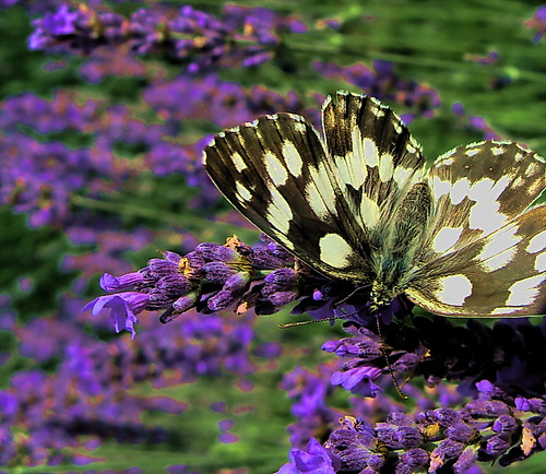 Butterfly and lavender by kontinova2 - off - on