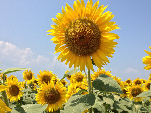 明野ひまわり畑 / Akeno Sunflower Field