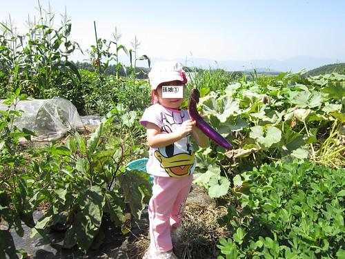 孫のナスの収穫 2013年8月11日10:12 by Poran111