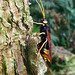 Wood Wasp / Horntail by Chas Moonie-Wild Photography