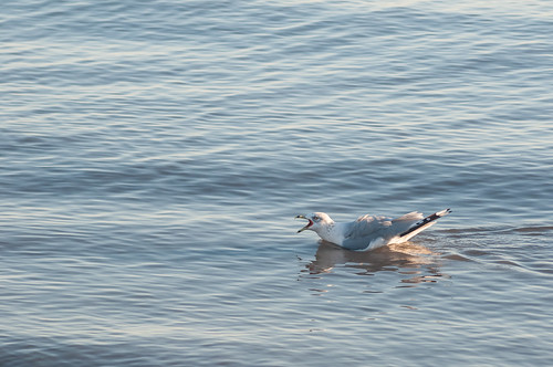 bird beach sunrise unitedstates seagull shoreline delaware smyrna delawarebay angrybird woodlandbeach