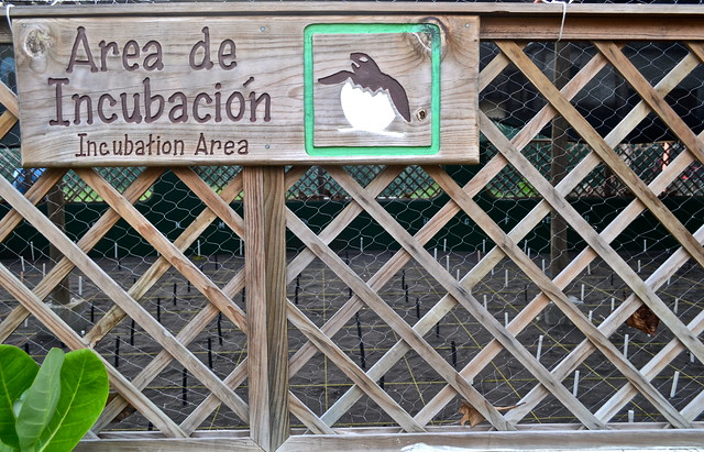 Incubation for Turtles - Monterrico, Guatemala