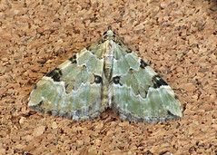 1776 Green Carpet - Colostygia pectinataria