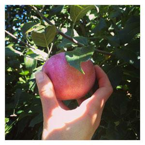 Apple Picking for Fresh Apple Cake