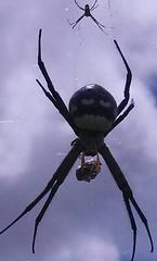 argiope(0.0), araneus(0.0), arthropod(1.0), animal(1.0), spider(1.0), invertebrate(1.0), macro photography(1.0), european garden spider(1.0), fauna(1.0), close-up(1.0), orb weaver spider(1.0), widow spider(1.0),