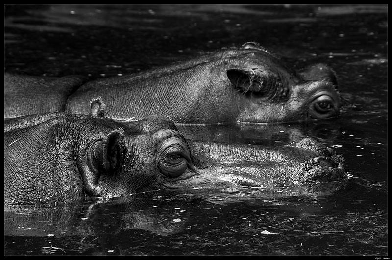 (ANIMAUX) Hippo... 10098652185_eda60e4bd1_o