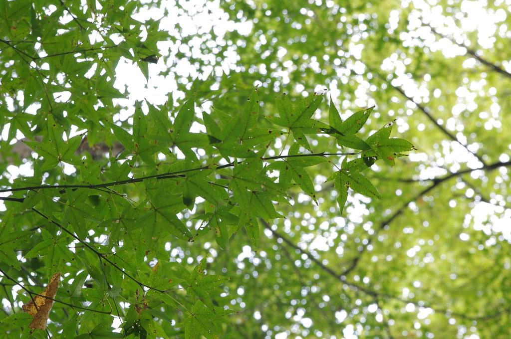 11/09 石門水庫楓況