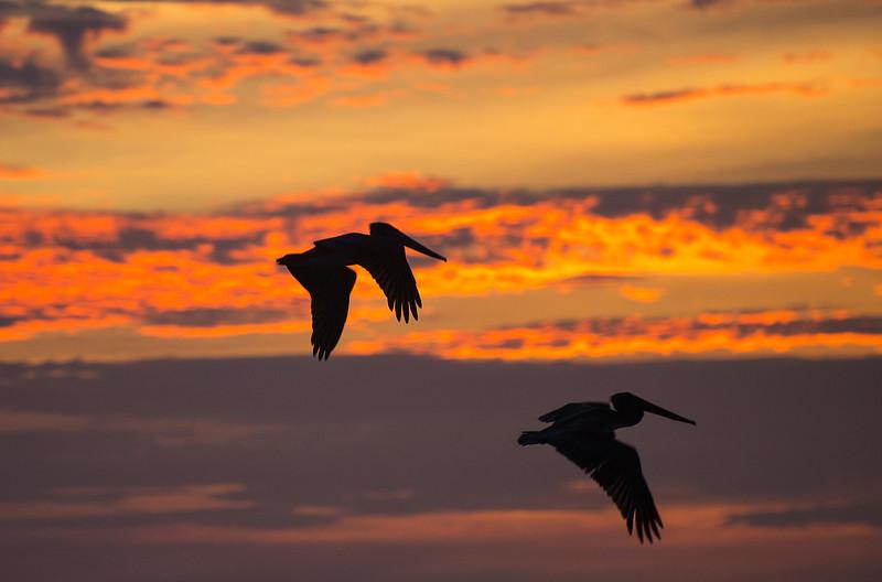 Sunset brown Pelicans
