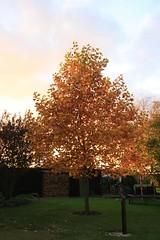 24. Oktober 2013 - 17:42 - Tulpenbaum im Herbst 2013