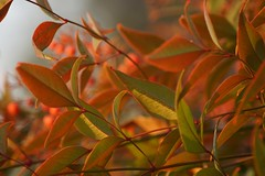 Klaus Naujok posted a photo:	Thanks to the defused (by fort) early sunlight, these leaves look great.