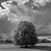 Vermont - Lone Oak - Monochrome by NikonD3xuser1(Thanks for 582K visits)