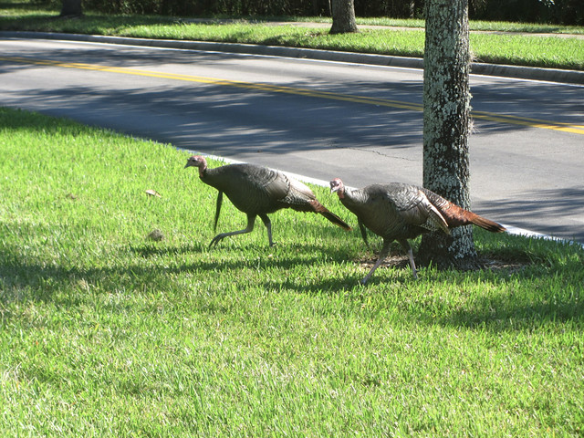 turkeys crossed the road