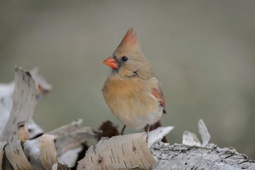 Northern Cardinal_40704.jpg