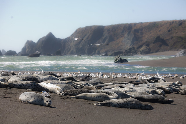 Harbor_seals_at_Bodega_Bay
