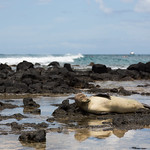 Monk seal waking up