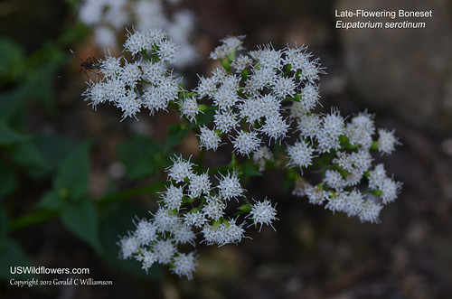 Late-Flowering Thoroughwort, Late-Flowering Boneset - Eupatorium serotinum